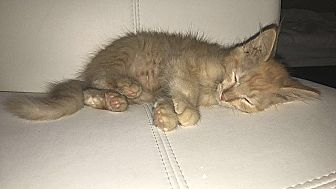 Domestic Mediumhair Kitten for adoption in Tampa, Florida - Oliver