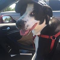 Bull Terrier/Pointer Mix Dog for adoption in Danville, California - Charlie