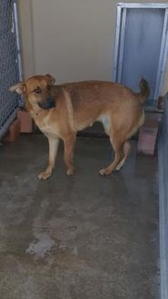 Shepherd (Unknown Type) Mix Dog for adoption in Cody, Wyoming - Daisy