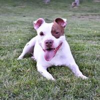 Adopt A Pet :: Joe Joe - Hinsdale, IL