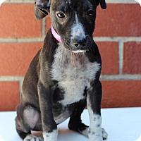 Pointer/Labrador Retriever Mix Puppy for adoption in Waldorf, Maryland - Crispy