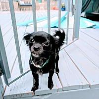 Adopt A Pet :: Sassy / Sassafras - Raleigh, NC