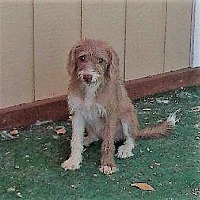 Adopt A Pet :: Pepsi - Oakley, CA