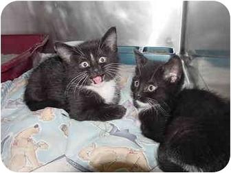 Domestic Shorthair Kitten for adoption in Marshalltown, Iowa - Brenda