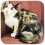 Photo 2 - Domestic Shorthair Kitten for adoption in Irvine, California - Fergie
