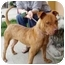 Photo 2 - Shar Pei/American Pit Bull Terrier Mix Puppy for adoption in Berkeley, California - Tabby