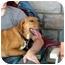 Photo 2 - Beagle/Labrador Retriever Mix Puppy for adoption in Floyd, Virginia - Mickey - Peggy's Pup