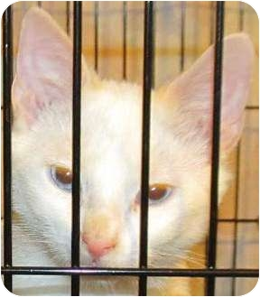 Siamese Kitten for adoption in Muskogee, Oklahoma - Prince
