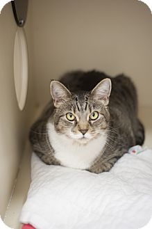 Domestic Shorthair Cat for adoption in Chicago, Illinois - Bailey