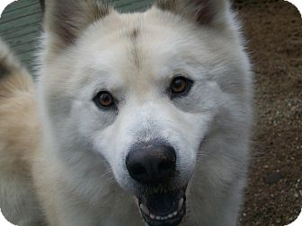 Husky/Chow Chow Mix Dog for adoption in Fennville, Michigan - Wolfie