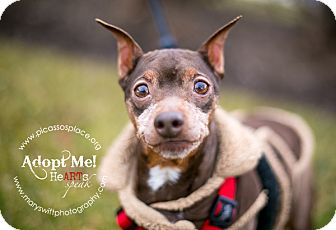 Miniature Pinscher Dog for adoption in Myersville, Maryland - Echo
