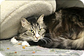 Domestic Shorthair Cat for adoption in Anderson, Indiana - Marcy