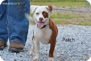 Terrier (Unknown Type, Small)/Bull Terrier Mix Dog for adoption in Danielsville, Georgia - Patches