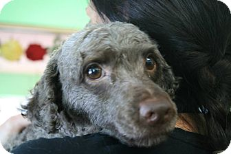 Poodle (Miniature) Dog for adoption in Essex Junction, Vermont - Tucker