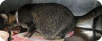 Domestic Shorthair Cat for adoption in Brooksville, Florida - 1022474 Jellie