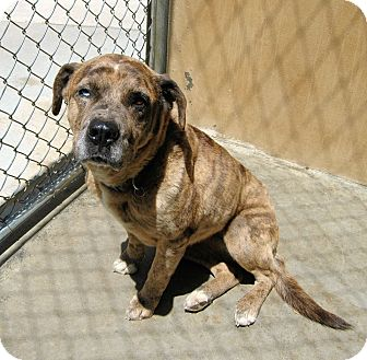 Australian Shepherd Mix Dog for adoption in Red Bluff, California - MOCHA