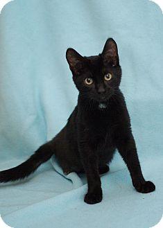 Domestic Shorthair Kitten for adoption in San Antonio, Texas - Patch