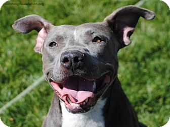 American Staffordshire Terrier/Pit Bull Terrier Mix Dog for adoption in Los Angeles, California - Blue Belle