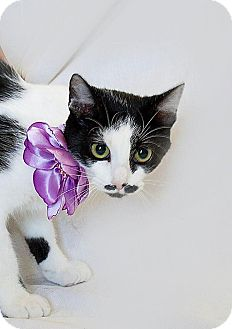 Domestic Shorthair Cat for adoption in Schererville, Indiana - Mustache