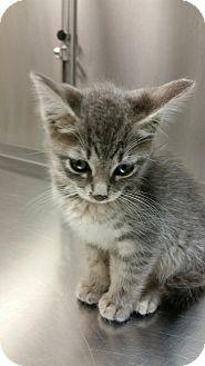American Shorthair Kitten for adoption in Whitestone, New York - Bianca
