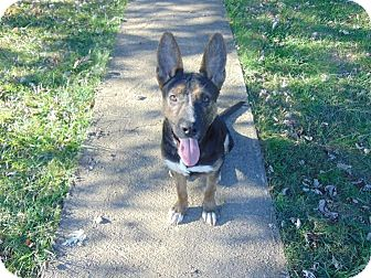 German Shepherd Dog Mix Dog for adoption in Portland, Maine - Mikey (Cat Friendly)
