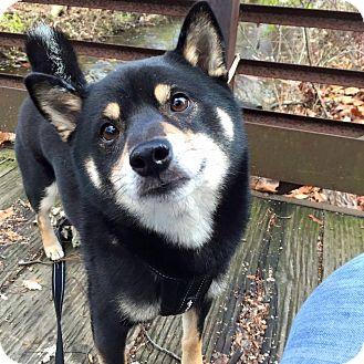 Shiba Inu Dog for adoption in Manassas, Virginia - Akihiko