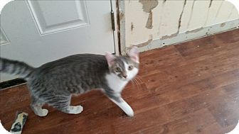 Domestic Shorthair Kitten for adoption in Fairborn, Ohio - Captain