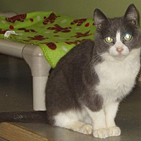 Domestic Shorthair Cat for adoption in Toledo, Ohio - Maisy