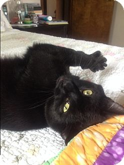 Domestic Shorthair Cat for adoption in Xenia, Ohio - Harley