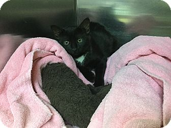 Domestic Shorthair Kitten for adoption in Richboro, Pennsylvania - Esmeralda