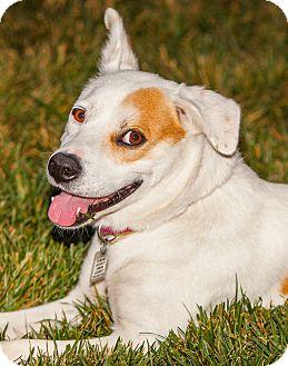 Spaniel (Unknown Type)/Labrador Retriever Mix Dog for adoption in Monroe, North Carolina - Shena