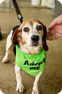 Beagle Mix Dog for adoption in Indiana, Pennsylvania - BODIE