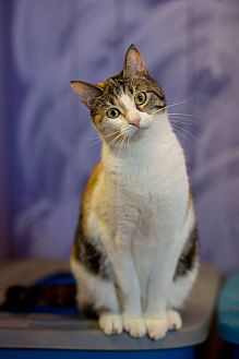 American Shorthair Cat for adoption in Holden, Missouri - Brooklyn
