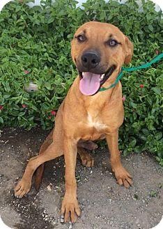 Shepherd (Unknown Type)/Labrador Retriever Mix Dog for adoption in Chico, California - Juno