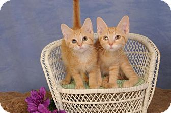 Domestic Shorthair Kitten for adoption in mishawaka, Indiana - Monica (on right)
