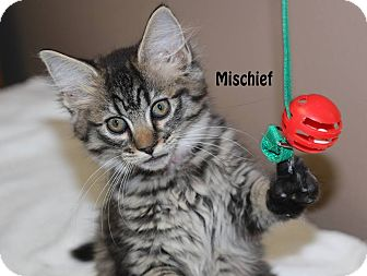 Domestic Shorthair Kitten for adoption in Idaho Falls, Idaho - Mischief