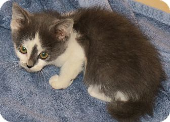 Domestic Mediumhair Kitten for adoption in Bedford, Virginia - Cypress