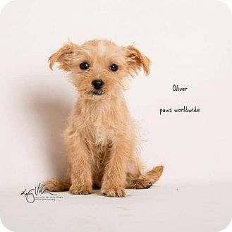 Yorkie, Yorkshire Terrier Mix Puppy for adoption in Corona, California - OLIVER