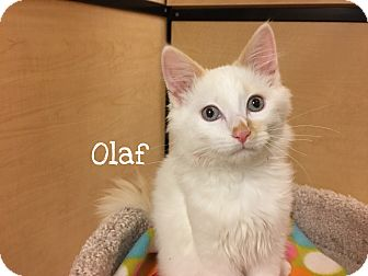 Siamese Kitten for adoption in Foothill Ranch, California - Olaf