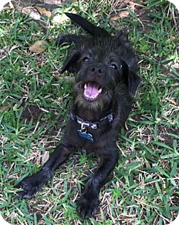 Terrier (Unknown Type, Small)/Chihuahua Mix Puppy for adoption in Houston, Texas - A - JERRY