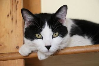 Domestic Shorthair/Domestic Shorthair Mix Cat for adoption in Yucaipa, California - Windell