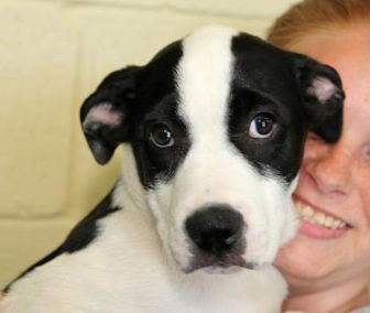 Australian Shepherd/Labrador Retriever Mix Dog for adoption in Winchester, Tennessee - Simon (Reserved)