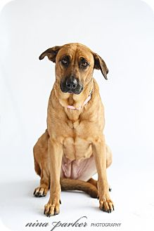 Shepherd (Unknown Type)/Great Dane Mix Dog for adoption in Marietta, Georgia - Pearl