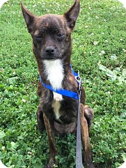 Feist Dog for adoption in Westminster, Maryland - Jenny