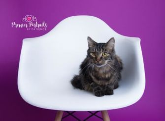 Domestic Longhair/Domestic Shorthair Mix Cat for adoption in Wausau, Wisconsin - Finnigan