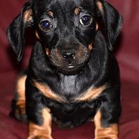 Adopt A Pet :: Kate, possibile new home - Spokane, WA