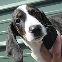 Adopt A Pet :: Phlox - Reeds Spring, MO
