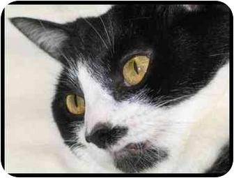 Domestic Shorthair Cat for adoption in Macon, Georgia - Moo
