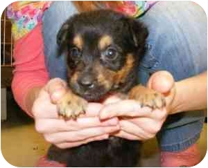 Rottweiler Mix Puppy for adoption in Alexandria, Virginia - Mouse