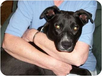 Labrador Retriever/American Pit Bull Terrier Mix Puppy for adoption in Centerville, Iowa - Butch